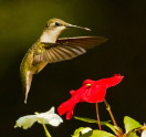Hummingbird--Last-Green-Valley-Members