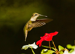Hummingbird-at-Red-Impatien-HarradenFI