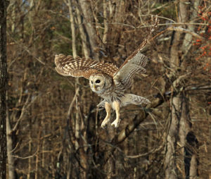 This barred owl was rehabbed at Horizon Wings in Ashford and released in Woodstock. The Last Green Valley is the place to spread your wings! Photo by J. Wadsworth.