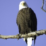 Bald Eagles Love The Last Green Valley