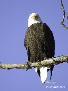 A proud resident of The Last Green Valley, this bald eagle was fishing for breakfast on the Quinebaug in Putnam. Photo by K. DiBonaventura.