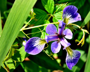 Wild Iris tamed at Baltic Reservoir in Sprague, a colorful town in The Last Green Valley.  Photo by J. Stahr.