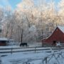 Wolf Den Farm's Friesians feel free to frolick in Brooklyn's snow. Photo by D. Kennedy.