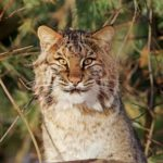 Acorn Adventure: Bobcat Tracks and More with Wyndham Land Trust!