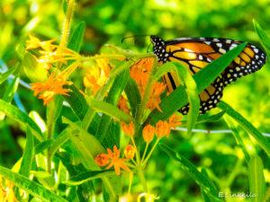 Monarch butterly enjoying milkweed in Hampton on a beautiful, sunny, day in The Last Green Valley. The monarch butterfly must have milkweed to survive. Photo by E. Linkkila.