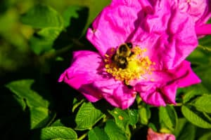 A bumblebee enjoying a Rosa rugosa bloom on a late September day, with record breaking warmth, in the town of Hampton; part of The Last Green Valley.