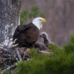 The Last Green Valley's Member Program Series: Bald Eagles in The Last Green Valley