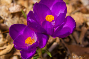 Recently we moved from brrrr to ahhhh Spring weather. Back in the brrrr this beautiful crocus decided, despite the unseasonably cold weather, that it was time to bloom ~ always a welcome sign of spring in Hampton, one of the 35 towns in The Last Green Valley National Heritage Corridor. Photo by E. Linkkila.