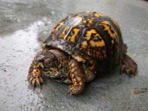 Box-Turtle-e1429665803383