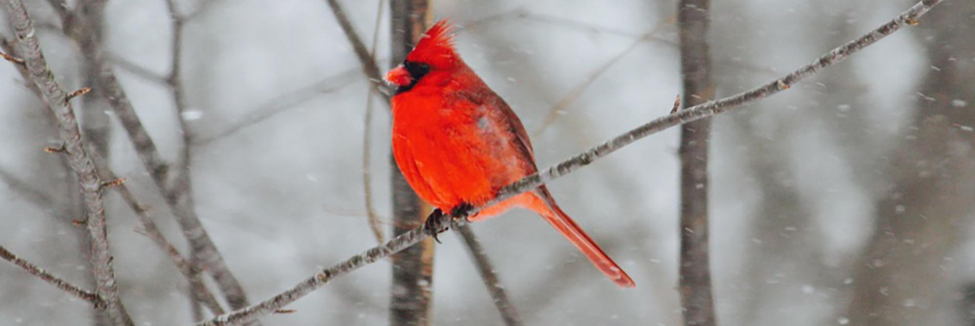 Mr. Cardinal Weathering the Storm by C Ledogar