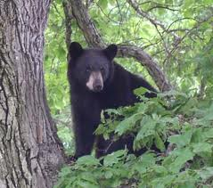 black bear in CT