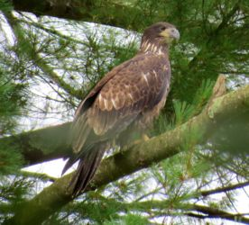 Immature Eagle watching over Windham Center