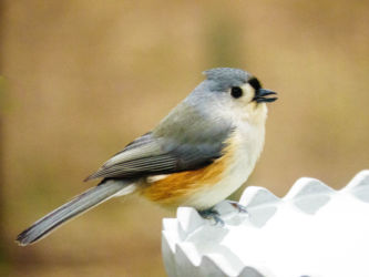 Tufted Titmouse heated birdbath 12-2014-ELinkkila