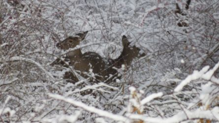 2deer in snow-JPBabineau