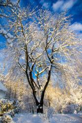E Linkkila-sparkly snow-tree-February 2016-Hampton