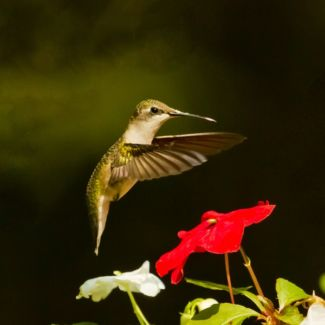 Hummingbird_and_imatient