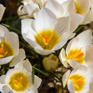 crocus_in_bloom