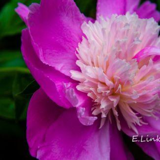 pink_peony
