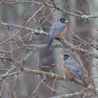 two_robins
