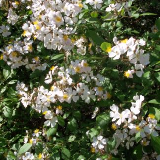 white_flowers