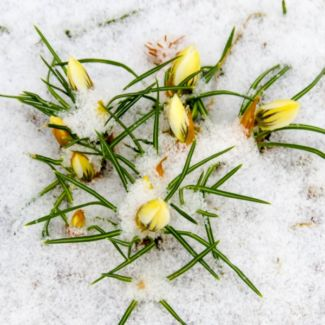 yellow_crocus_in_snow
