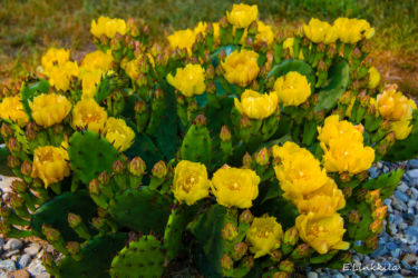 E. Linkkila-Cactus-Hampton-6-22-16