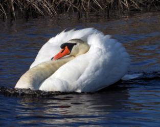 S. Menders-Swan on Five Mile Pond-June2016