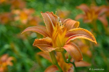 E. Linkkila-orange-lilies-Hampton-July 2016