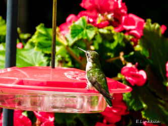 E. Linkkila-female-ruby-throat-hummer-Hampton-August 2016