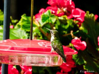 E. Linkkila-female-ruby-throat-hummer-Hampton-August 2016