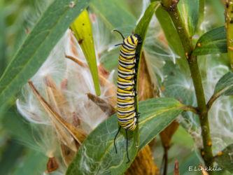 e-linkkila-monarch-larva-hampton-september-2016