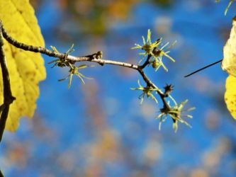 t-chamberland-witchhazel-blossoms-october-2016-sturbridge