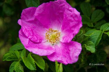 E. Linkkila-rose-Hampton-May 2017